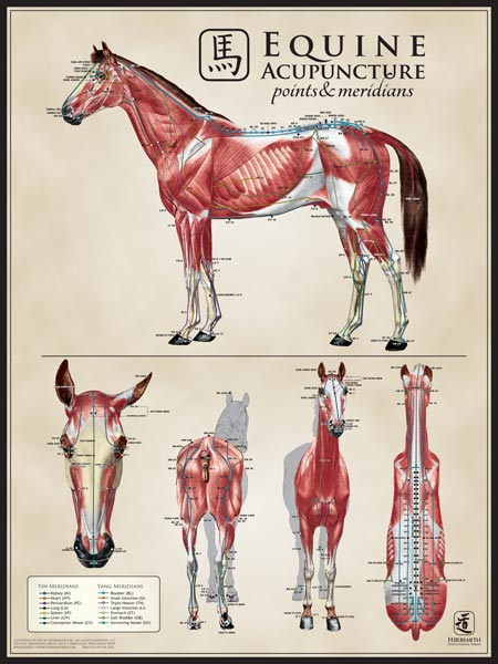 Equine Muscle Multi-View Chart