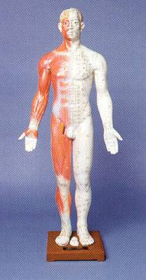 "Model of Human Body, 33"" Male"