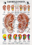 Ear Reflex Points Chart by Terry Oleson