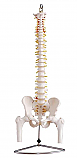 Flexible Vertebral Column with Pelvis and Femur Heads