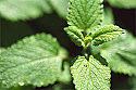 Melissa (Lemon Balm) Essential Oil 2ml