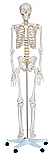 Life-Size Skeleton, 71""
