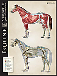 Equine Lateral Bone/Muscle Comparison Chart